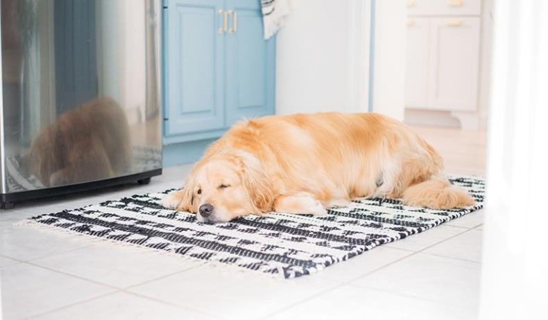golden retriever on rug